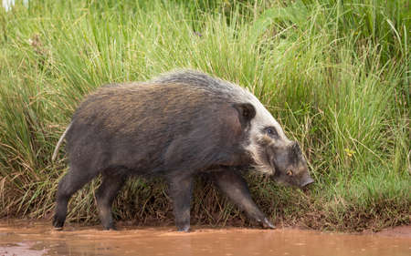 Adult bush pig walking in brown water with tall green grass in the background in Ngorongoro Crater in Tanzania