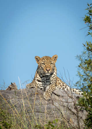 Vertical portrait of an adult leopard lying on a dead tree log in Kruger Park with blue sky in the background in South Africa