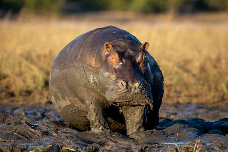Huge hippopotamus sitting in mud in Chobe River in Botswana Stock Photo
