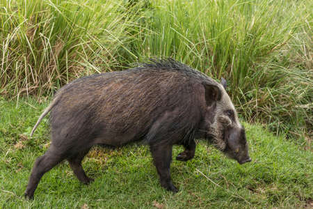 Adult bush pig walking in green grass looking alert in Ngorongoro Crater in Tanzania