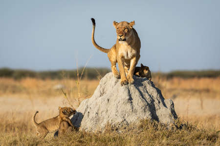 Female lioness sitting on a termite mound with three lion cubs looking at their mum in Savuti in Botswana Stock Photo