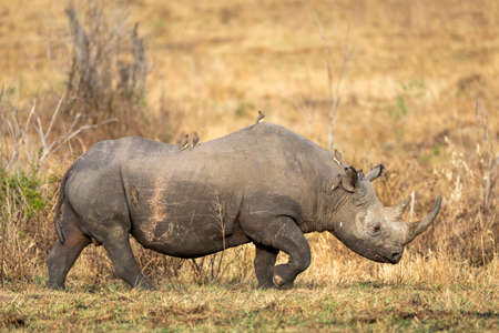 Adult black rhino with a big horn and ox peckers sitting on its back while walking in Masai Mara in Kenya Stock Photo