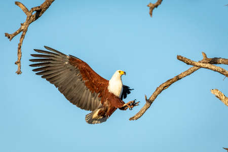 Fish Eagle (Haliaeetus vocifer) with its wings wide open trying to land on a tree branch in Kruger Park in South Africa Stock Photo