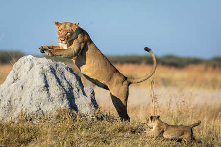 Lioness jumping on a large termite mound with her small lion cub running behind her in Savuti in Botswana Stock Photo