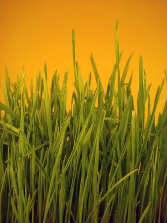 Grass on orange background                                Stock Photo - 2547380
