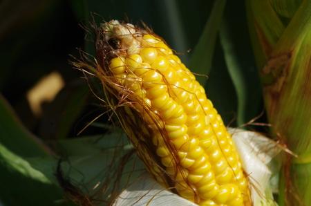 feld: Maiskolben nach der Ernte