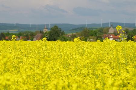gelb: Ein bl?hendes Rapsfeld ganz Gelb