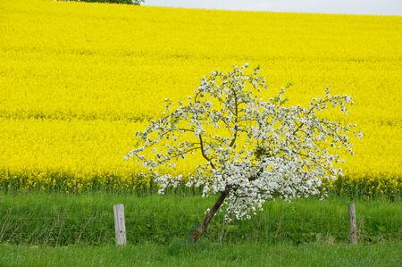 Blhender apple tree in front of a rape field photo