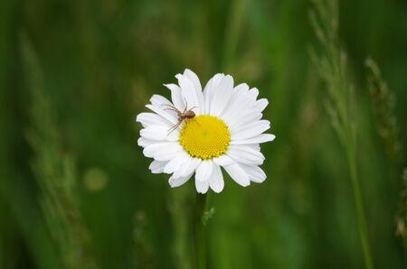 chamomile flower: A chamomile flower