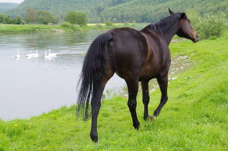 caballo bebe: Un caballo en el r�o Foto de archivo