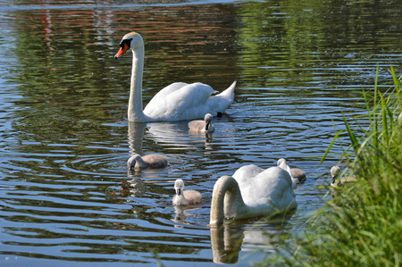 Schimmen swans on a river photo