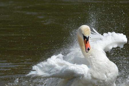 A swan photo