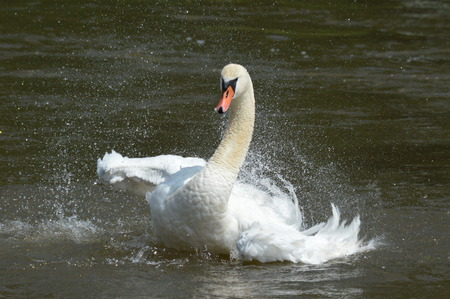 Swan lands on water photo