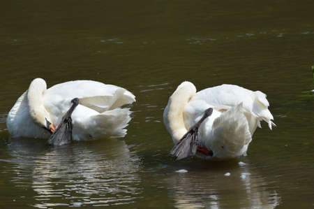 Swans on the lake photo