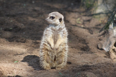 A meerkat photo