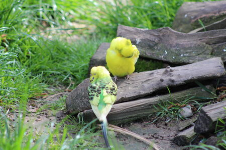 budgie: Green and yellow budgie