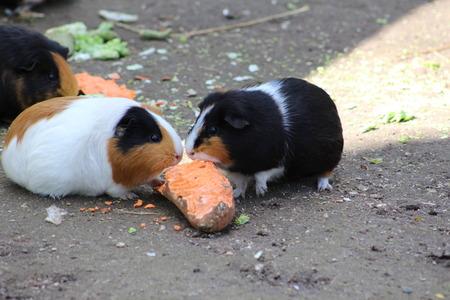 cavie: Porcellini d'India
