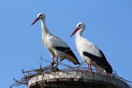 Storks in their nest photo