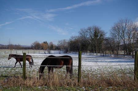 caballo bebe: Caballos en un prado en invierno en la nieve Foto de archivo