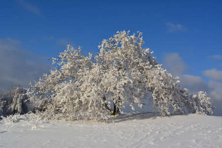 Tree with lots of snow photo