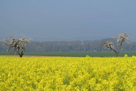 peasantry: Yellow rapeseed field at Stock Photo