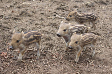 Boars with their offspring