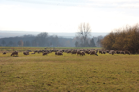 Sheep on a meadow in autumn