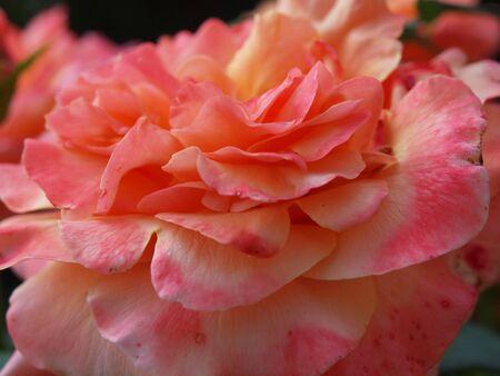 Pink rose starting to fade