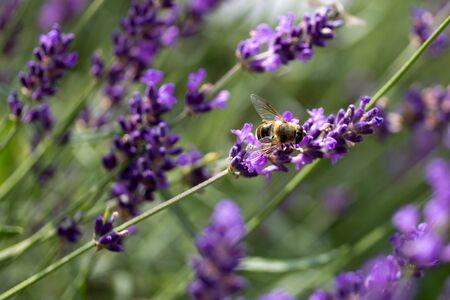 A wild bee feeding on a lavender flower.