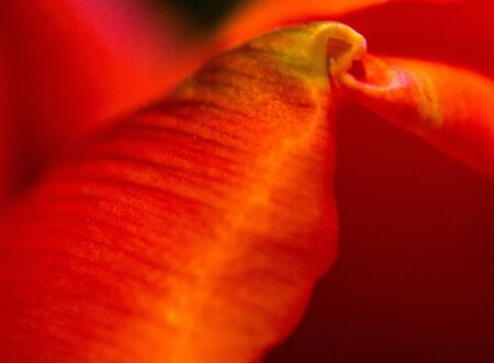 Getting very close to a red spring tulip Stock Photo