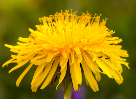 A very close sideshot of a yellow dandelion Stock Photo