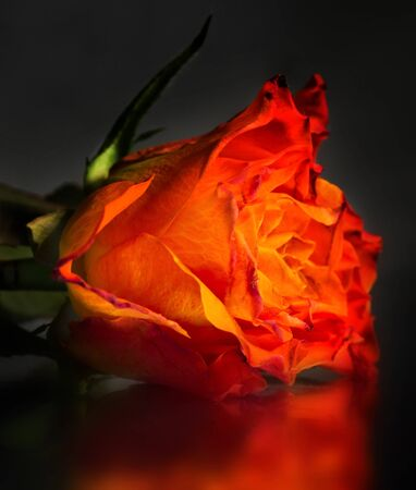 A yellow-orange rose on a glass table in low light