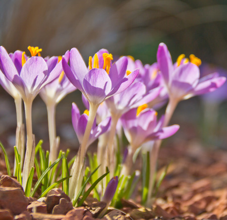 A bunch of crocusses enjoying the spring sun. Stock Photo