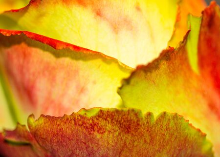 A closeup of the petals of a variegated rose Stock Photo