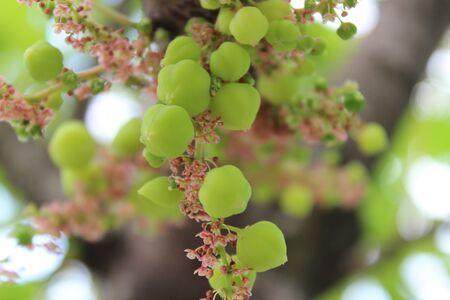 terribly: Phyllanthus acidus