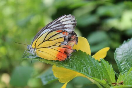 giant sunflower: a butterfly stand on green leaf Stock Photo