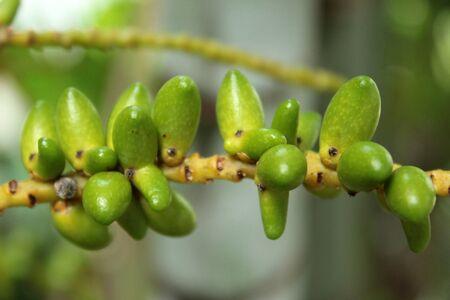 green macarthur palm fruit photo
