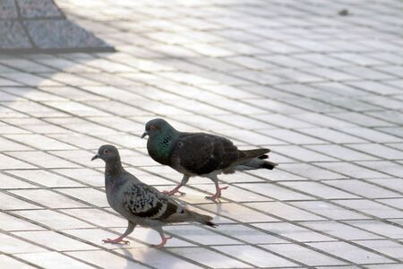 The pigeon take a walk in the park photo
