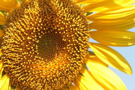 close up sunflower for  background photo