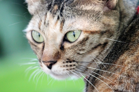 the close up portrait  brown cat look at you Stock Photo - 17597443