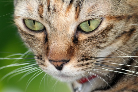 a portrait of big eye brown cat for background Stock Photo - 17597445