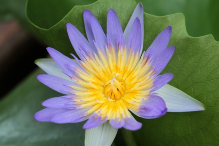 A soft purple lotus  blooming in the morning  photo