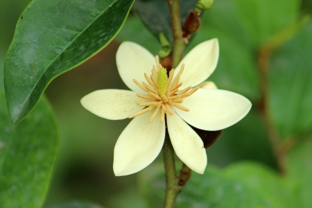 widening: A small bud of evergreen magnolia grandiflora