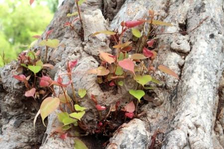 gaya: Pho leaves and big tree roots at ancient site