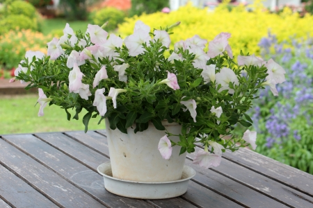 A pot of white flowers on the table photo