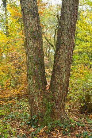 trunk  tree: Tronco de �rbol con forma de V