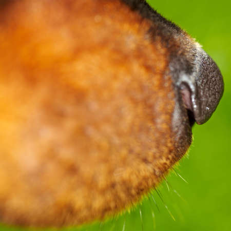 olfaction: Nose and snout of a Rottweiler dog Stock Photo