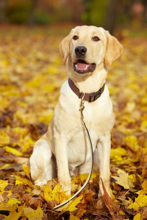 Young Labrador Retriever in a fall park photo