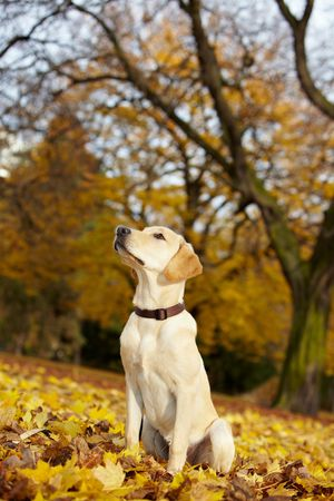 head collar: Young Labrador Retriever in a fall park