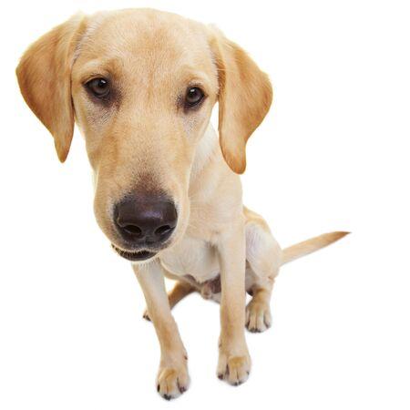 labrador teeth: Portrait of a young male Labrador Retriever
